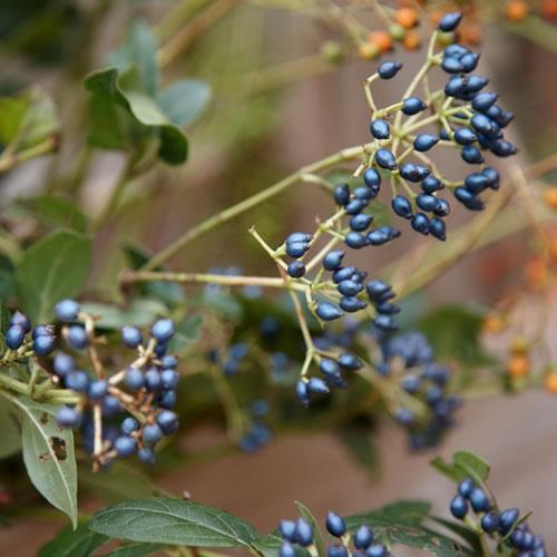 20141001_tuinplant_vd_maand_oktober_viburnum2 - kopie